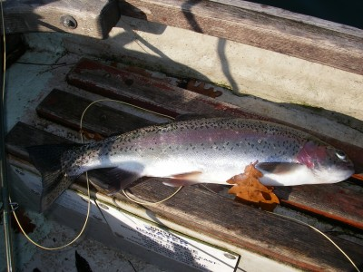 A fin perfect Litton rainbow trout