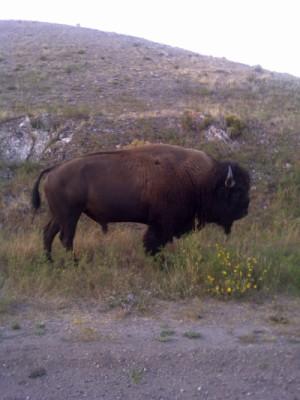 Beware of grazing Buffalo!