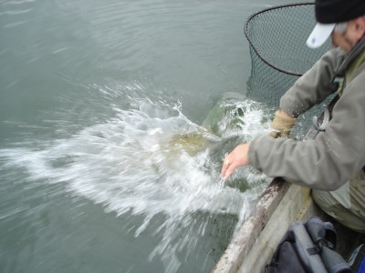 What happens when a fit and fully recovered 27lb pike wants to go!