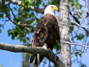 Increased fishing competition: This bald eagle was spotted nested on the Yukon, Canada